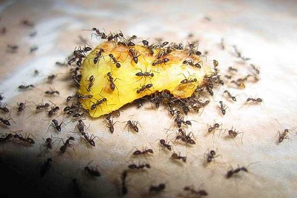Как избавиться от муравьев в теплице навсегда. Без вреда для растений