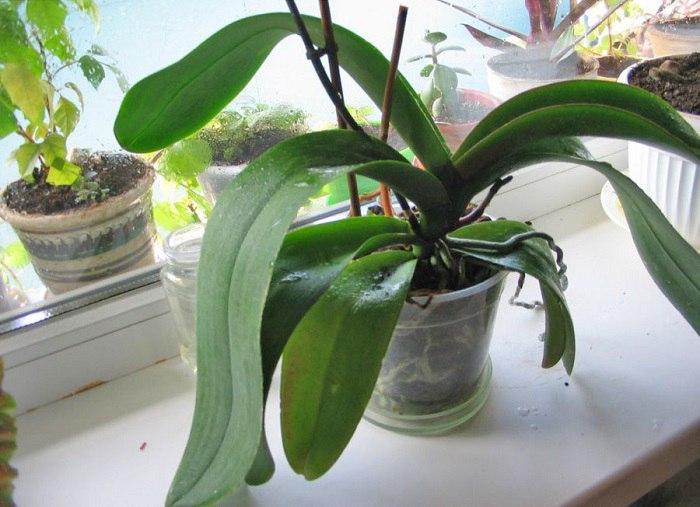 Домашнее удобрение для орхидей. Кому ни посоветую — все в восторге