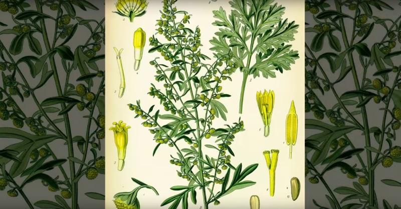 «Растение, убивающее рак с метастазами!» Оно всегда было под ногами
