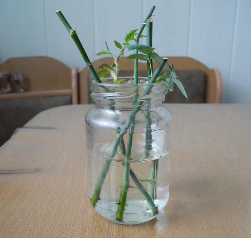 Сдаю рецепт маминой «Тройчатки» для проращивания роз. Самый легкий способ вырастить розу из букета
