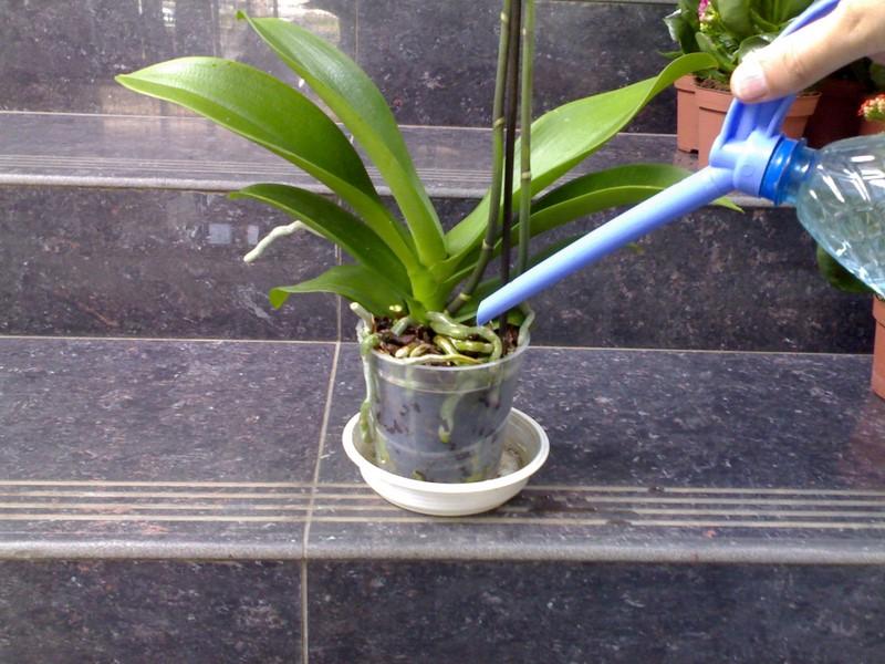 Домашнее удобрение для орхидей. Всего пару поливов, и цветы не узнать