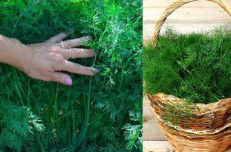 Как вырастить сочный темно-зеленый укроп без селитры