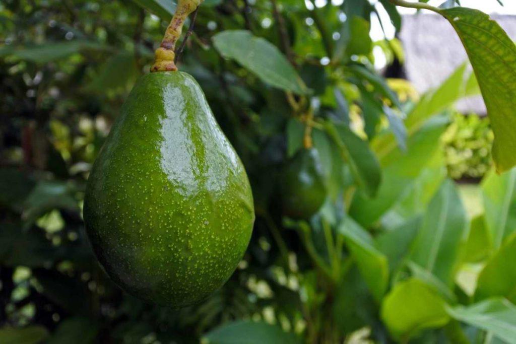 Авокадо из косточки и в каких условиях растение будет плодоносить