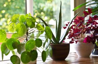 17 комнатных растений, которые привлекают счастье и удачу в дом