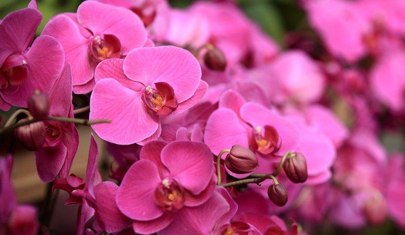 При каких условиях орхидея цветет водопадом нежных бутонов