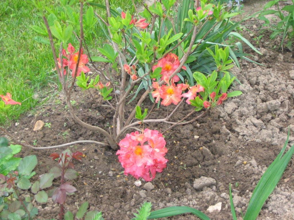 Рододендроны: правила посадки и ухода