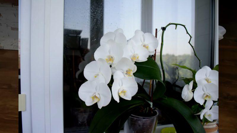 Почему вянут листья у орхидеи? Реанимируем любимое растение.