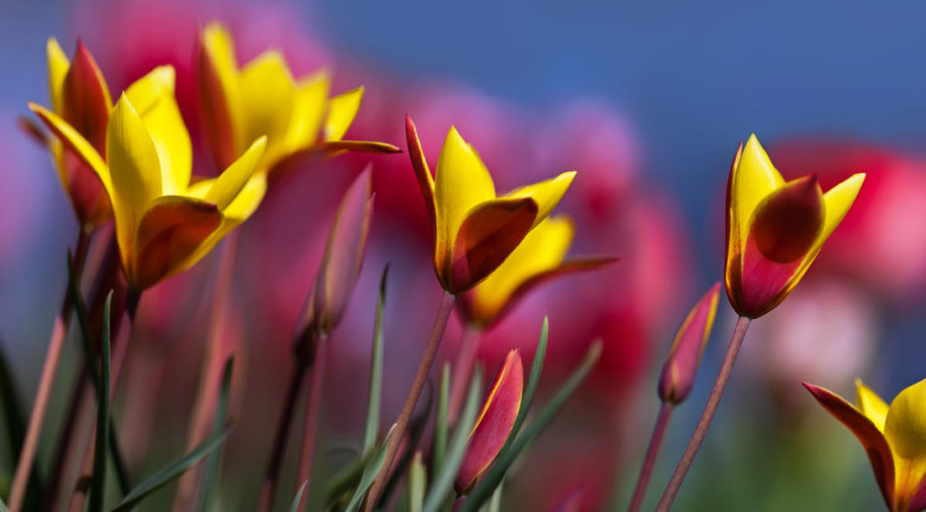 Лучшие виды ботанических тюльпанов