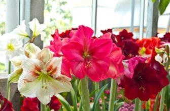 Как добиться пышного цветения гиппеаструма