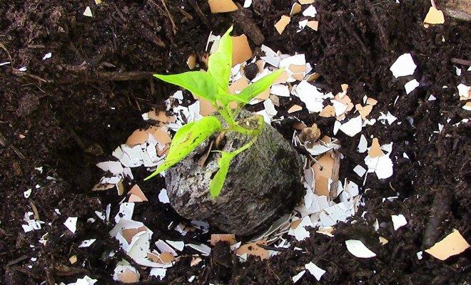 Удобрение из яичной скорлупы для огорода