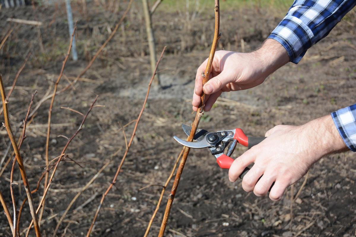 Простой способ увеличить урожай малины вдвое. Определяем лучший срок для обрезки.