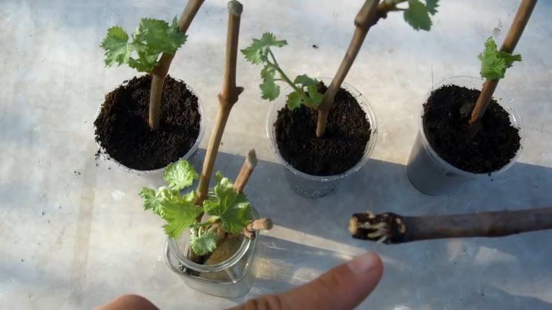 Способ, с которым через 30 дней черенки винограда на 100 % укоренятся
