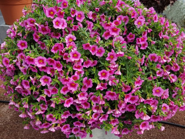 Чем заменить петунию: 5 цветов, которые проще в уходе