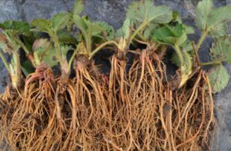 Посадка клубники осенью – когда и как правильно высадить рассаду на грядки