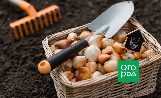 Сроки высадки луковичных (таблица)