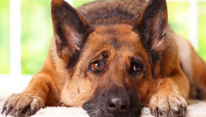 3 недостатка немецкой овчарки, которые нужно учитывать при выборе собаки