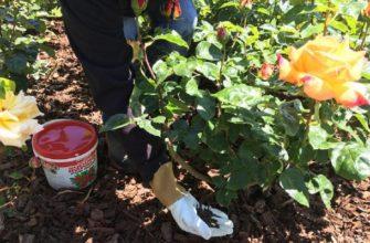 Расскажем, какие удобрения лучше всего подходят для осенней подкормки роз