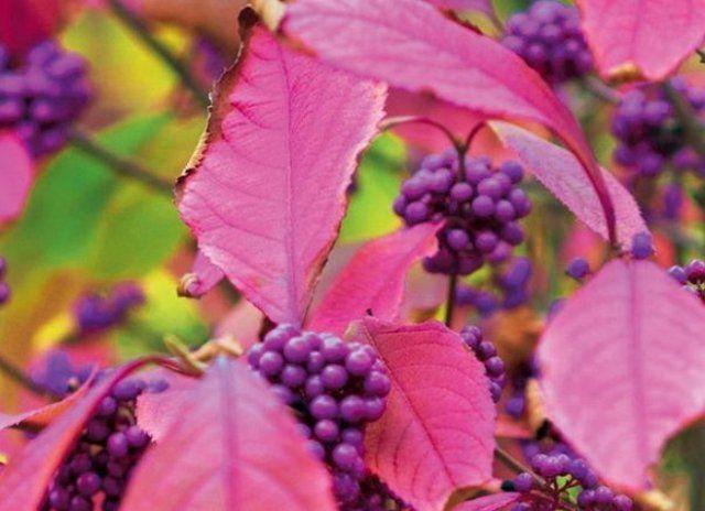Декоративные деревья и кустарники с красивыми плодами для осеннего сада