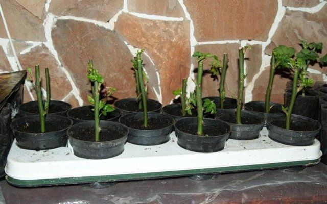Размножение роз черенками осенью: подробная инструкция для начинающих