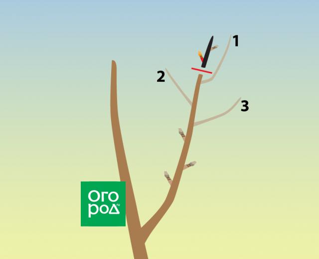Обрезка груши осенью для новичков: наглядные схемы, понятные советы