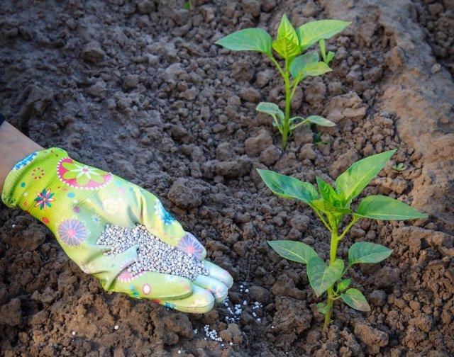 Чем подкормить сладкий перец для роста и урожая