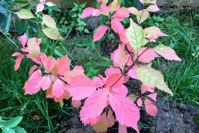 17 эффектных кустарников, которые украсят сад осенью