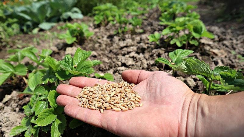 Посейте этот сидерат по клубнике в августе-сентябре для мощного урожая в следующем году
