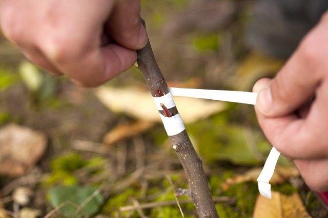 Прививка деревьев и кустов осенью – что и когда можно прививать