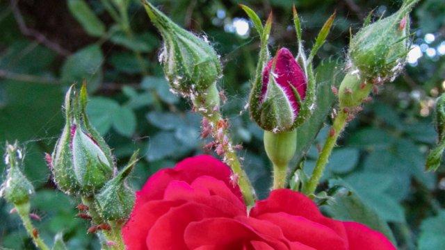 Уход за розами после цветения: 5 обязательных процедур