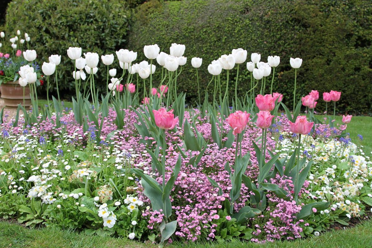 Незабудки в саду: как вырастить и ухаживать