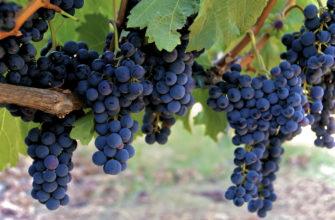 Сорта винограда для средней полосы. Формирование лозы.