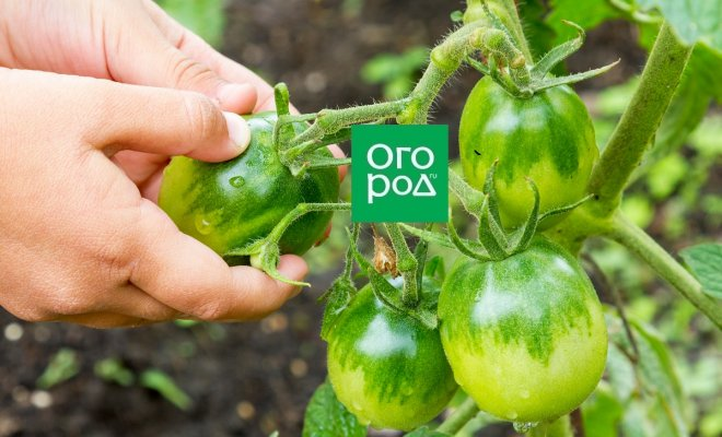 Что делать с зелеными помидорами