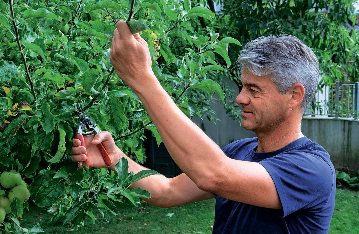 Прививка яблони: как правильно делать окулировку осенью
