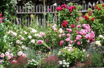 Что посадить рядом с розами?