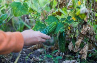 Что можно посадить на грядке после огурцов – планируем посадки на будущий год