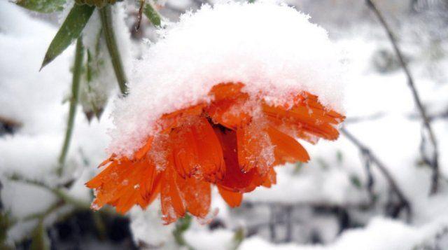 Цветы, которым не страшны осенние заморозки