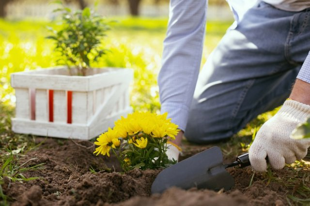 Все о посадке и выращивании хризантем