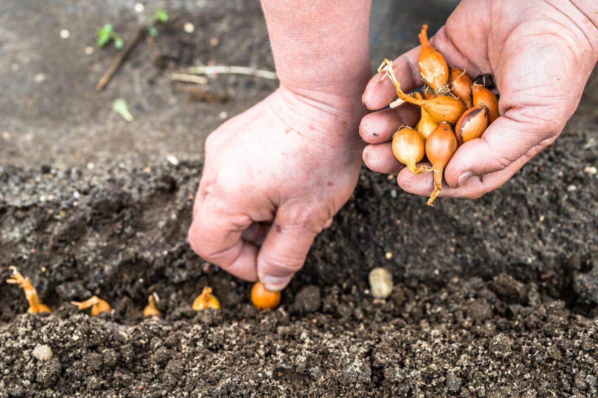 Зачем сажать морковь и лук на одной грядке