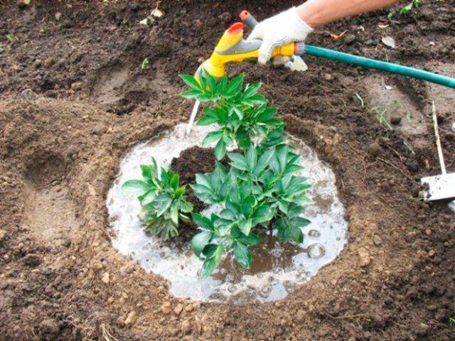 Травянистые пионы – когда делить и как правильно пересаживать