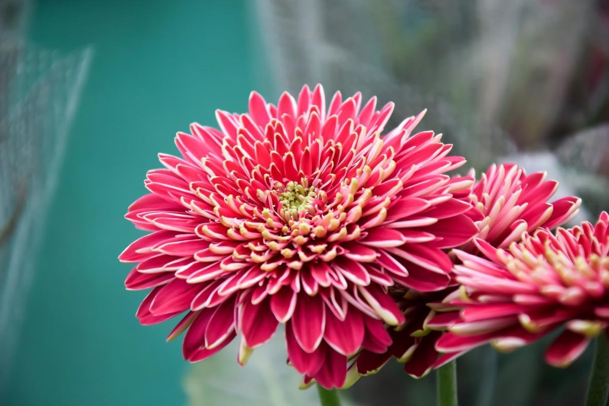 Выращивание хризантем: краткие рекомендации