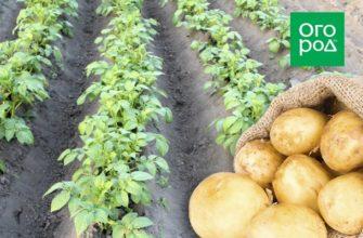 Выращивание картофеля на одном и том же месте