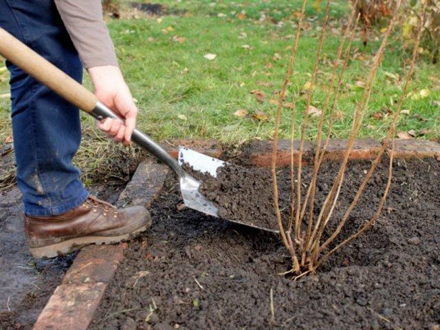 Смородина и крыжовник осенью – правильный уход и подготовка к зиме