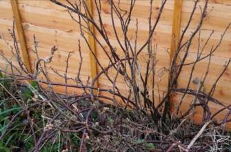 Обрезка смородины осенью – пошаговая инструкция для начинающих