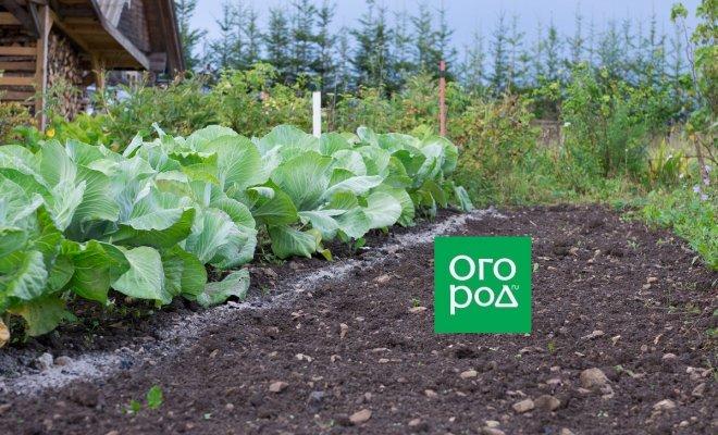 Зачем оставлять на грядках корни капусты и томатов