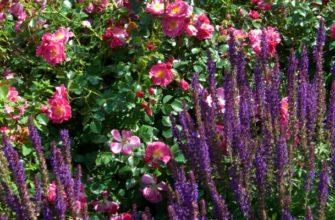 Шалфей на садовом участке: виды и сорта с фото