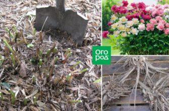 Пионы в октябре – секреты посадки, ухода и размножения