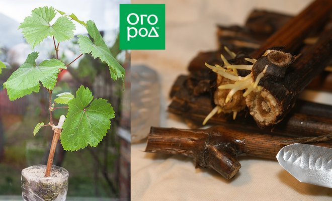 Размножение винограда одревесневшими черенками – инструкция для новичков
