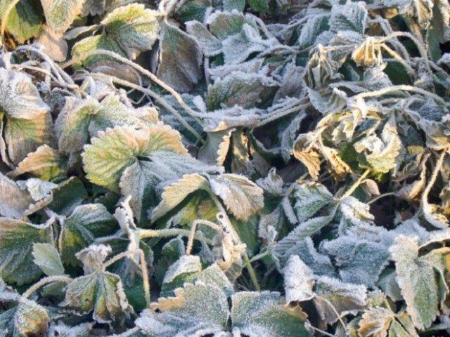 Ремонтантная клубника осенью: обрезка, подкормка, укрытие