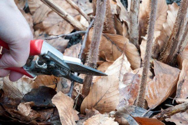 Почему у ремонтантной малины надо вырезать всю надземную часть