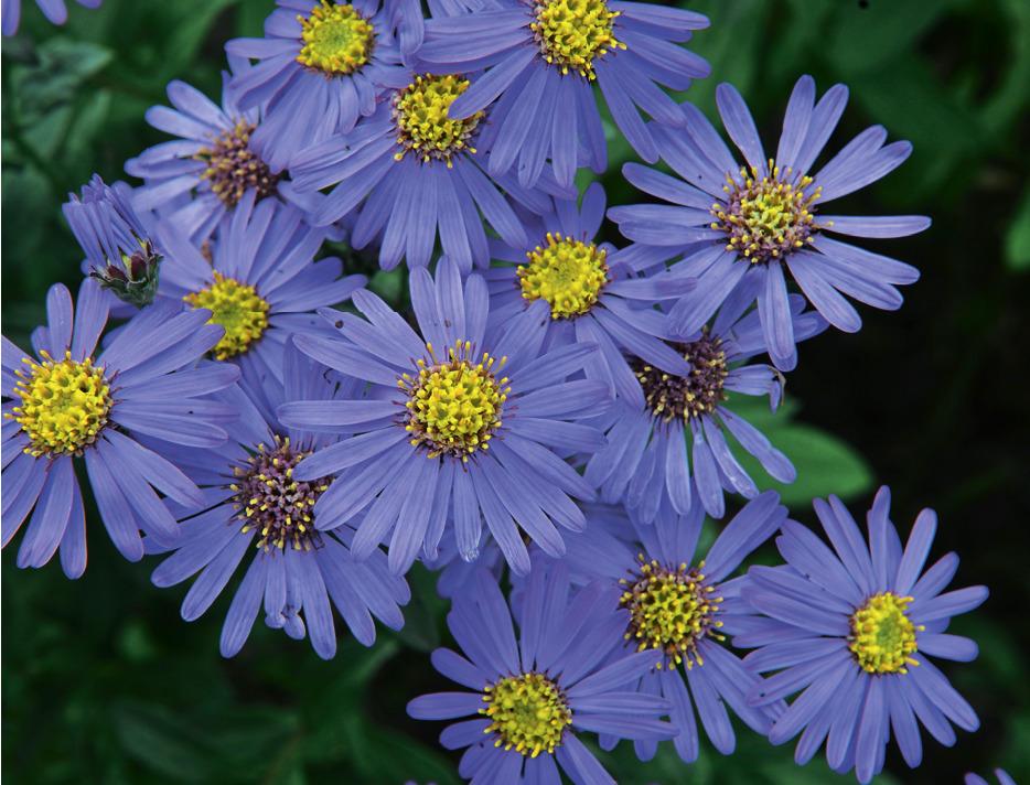 Сентябринки и октябринки: сорта и особенности выращивания осенних астр